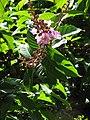 Starr-120522-6307-Lagerstroemia speciosa-flowers and leaves-Iao Tropical Gardens of Maui-Maui (24512799434).jpg