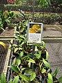 Starr-120522-6547-Potinara sp-Luna Juane Celebration in pots-Iao Tropical Gardens of Maui-Maui (25025652192).jpg