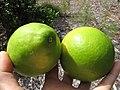 Starr-130504-4382-Citrus meyeri-fruit-Hawea Pl Olinda-Maui (24842923259).jpg