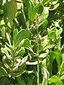 Starr-130617-4932-Bromus catharticus-seedheads-Kealia Pond NWR-Maui (25093889762).jpg