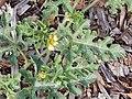 Starr-140719-1087-Citrullus lanatus-flower and leaves-Hawea Pl Olinda-Maui (24948767350).jpg