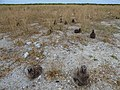 Starr-150402-0860-Brassica juncea-control with Laysan Albatrosses-East Eastern Island-Midway Atoll (25155931372).jpg