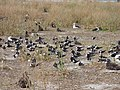 Starr-150403-0282-Brassica juncea-Sooty Terns settling down-Southeast Eastern Island-Midway Atoll (25157845082).jpg