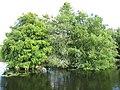 Starr-160717-5021-Taxodium distichum-with both varieties imbircatum-Green Cay Nature Center Boynton Beach-Florida (29668245115).jpg