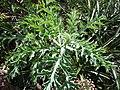 Starr-170224-0921-Argemone glauca-leaves-Hawea Pl Olinda-Maui (33225624892).jpg