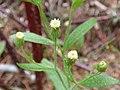 Starr-170225-0052-Conyza bonariensis-flowers-Lower Waiohuli Trail Polipoli-Maui (32566847513).jpg