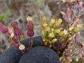 Starr-180326-0319-Conyza bonariensis-on left and Conyza canadensis var pusilla flowers on right-Kahikinui-Maui (39431680580).jpg