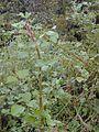 Starr 011205-0065 Rubus ellipticus.jpg
