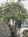 Starr 031108-0135 Hibiscus rosa-sinensis.jpg