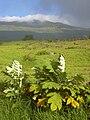 Starr 040514-0307 Bocconia frutescens.jpg