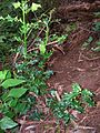 Starr 041113-0705 Ilex aquifolium.jpg