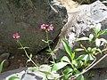 Starr 050815-3395 Centranthus ruber.jpg