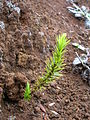Starr 050816-3585 Leptecophylla tameiameiae.jpg