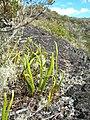 Starr 060121-5919 Lepisorus thunbergianus.jpg