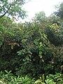 Starr 060422-9409 Derris elliptica.jpg