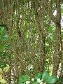 Starr 061105-1397 Murraya paniculata.jpg