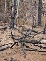 Starr 070908-9303 Pinus sp..jpg