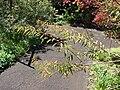 Starr 071024-0278 Euphorbia fulgens.jpg