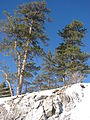 Starr 071223-0424 Pinus ponderosa.jpg