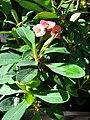 Starr 080103-1257 Euphorbia milii.jpg