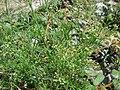 Starr 080602-5532 Ciclospermum leptophyllum.jpg