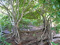 Starr 080602-9082 Ficus microcarpa.jpg