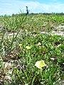 Starr 080604-9179 Oenothera laciniata.jpg