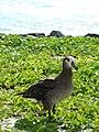 Starr 080608-7780 Ipomoea pes-caprae subsp. brasiliensis.jpg