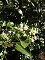 Starr 080812-9680 Psydrax odorata.jpg