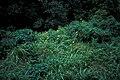 Starr 980601-4330 Tithonia diversifolia.jpg