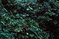 Starr 981208-2616 Pueraria montana var. lobata.jpg