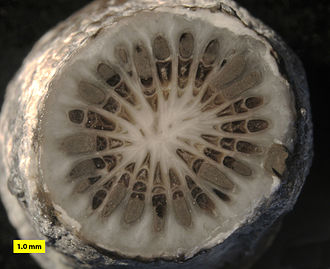 Rugosa - Cross-section of Stereolasma rectum, a rugose coral from the Middle Devonian of Erie County, New York