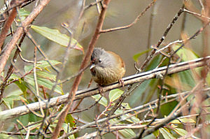 Streak-throated barwing - Streak-throated barwing, Mishmi Hills, Arunachal Pradesh, India
