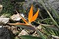 Strelitzia reginae 34zz.jpg