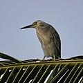 Striated Heron (49272584273).jpg