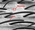 Struktur Notonecta.jpg