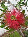 Suedafrika Blume15.JPG