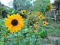 Sunflower (01).jpg