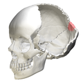 Superior angle of the occipital bone09.png