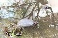 Suppon (Trionychidae) dans un petit étang à Shinjuku.jpg