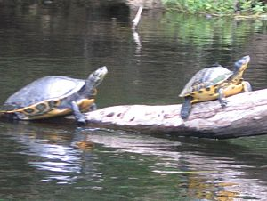 Pseudemys - Suwannee cooter