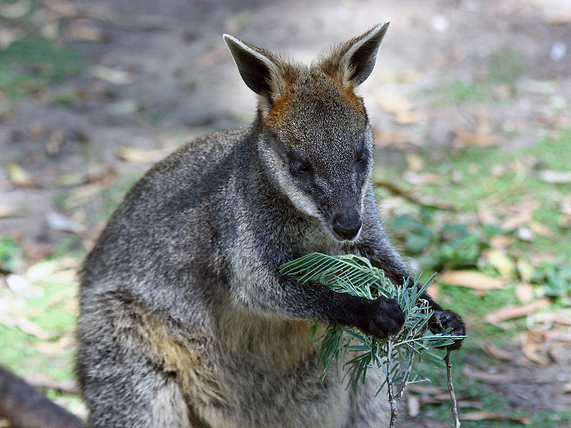 http://upload.wikimedia.org/wikipedia/commons/thumb/6/69/Swamp-Wallaby-Feeding-2%2C-Vic%2C-Jan.2008.jpg/800px-Swamp-Wallaby-Feeding-2%2C-Vic%2C-Jan.2008.jpg