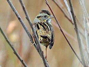Lake Mattamuskeet - Image: Swamp Sparrow