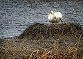 Swan - panoramio (2).jpg