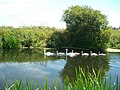 Swans - cygnets on the River Stour near Wimborne Minster - geograph.org.uk - 203621.jpg