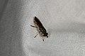 Syrphidae sp. (35786497693).jpg