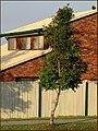 Syzygium luehmannii tree 1.jpg