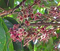 Syzygium malaccense (fruits) in Costa Rica.jpg