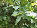 Syzygium samarangense (Rose apple) leaves in RDA, Bogra 01.jpg