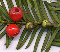 [Centralisation] Attention : plantes toxiques ! 250px-TXbaccata